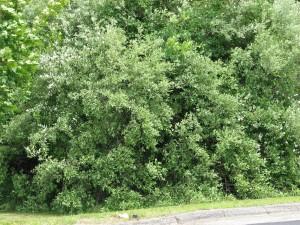 Autumn Olive -- Elaeagnus umbellate