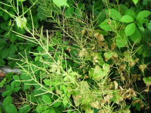 Garlic Mustard produces a copious amount of tenacious seeds