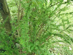 Japanese Barberry (<i>Berberis thunbergii</i>) can rapidly dominate an understory