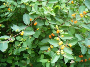 Japanese Honeysuckle (<i>Lonicera japonica</i>)