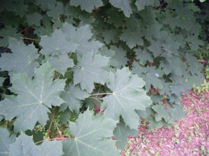 Norway Maple saplings can out-compete most nearby groundcover plants