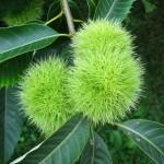 chestnut. Tanger_Arboretum_-_282