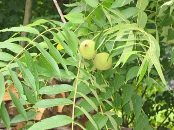 Thinking about Nut Trees - Ecological Landscape Alliance