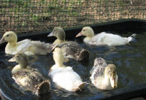 Young Ducklings Swimming