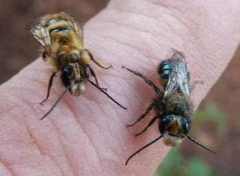 Attract Mason Bees – No Protective Gear Needed - Ecological