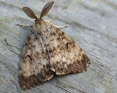 Adult male gypsy moth