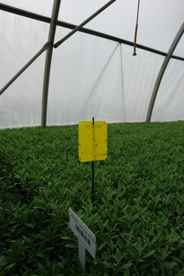 Sticky cards allow us to track fungus gnats, shore flies, and thrips levels in the greenhouse.