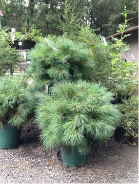 New England Wild Flower Society's nursery at Garden in the Woods in Framingham, MA, carried this dwarf selection of White Pine this year – just perfect for spaces too small for a full-sized tree.