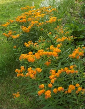 Butterfly weed is a beautiful native New England plant that blooms in early summer in any well-drained soil in full sun.