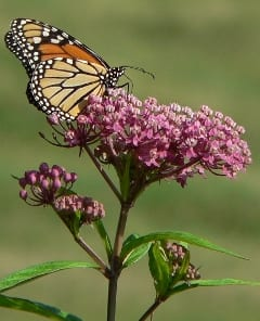 milkweed.240