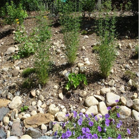Hyssop-leaved thoroughwort is a Eupatorium of sandy soils and a good companion for rudbeckia, grasses, tickseed and other meadow plants.