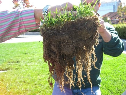Promoting deep rooting depths is one of the goals of a successful organic lawn program.