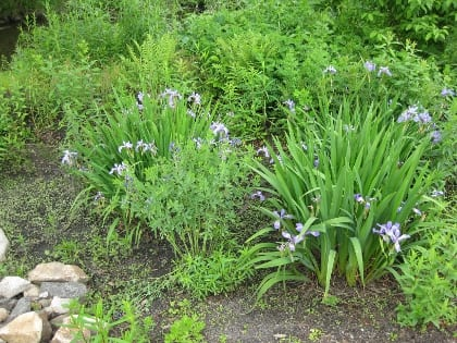 Blue flag iris (Iris versicolor) and false blue indigo (Baptisia australis) have withstood three years of alternating wet/dry conditions and plenty of weed competition in this moist but very well-drained biofiltration area that captures water from a parking lot.
