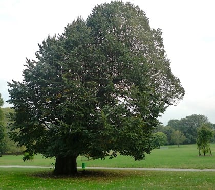 About seven years before the above photo was taken, this nearly 100-year-old veteran littleleaf linden was badly damaged in a wind storm. The damaged sections were removed soon after and some retrenchment done later to reduce the canopy for safety. The tree was then left alone and allowed to grow. In most cases a park manager would remove the entire tree, but a healthy tree of the right species, such as this one, are resilient and can remain a valuable landscape asset.