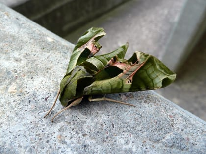 Eumorpha pandorus, the pandora sphinx moth is one of a handful of sphinx moth species which use Parthenocissus quinquefolia as a host plant. Photo by Michael D. Cheuvront.