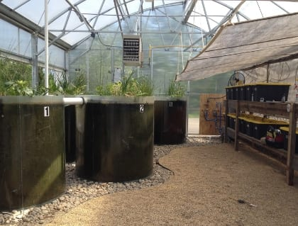 Interior of the greenhose shows the newly planted (June 12) Eco-machine cells and the mycelial loop in black bins along the wall to the right.
