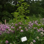 Currant in Polyculture of chives comfrey and vetch