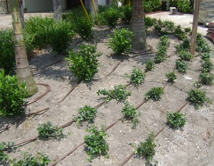 Drip irrigation in this bed shows lines running by the ground cover and shrubs with double-loops around the trees. Notice the line on the up-slope side of the plants. Photo courtesy of Keep It Green Nursery And Landscaping, Apollo Beach, FL.