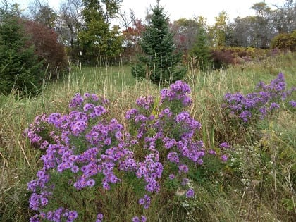 Aster novae-angliae blooms profusely in a hedgerow.