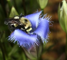 A worker bumblebee visits the flower of fringed gentian (Gentianopsis crinata) in autumn.