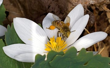 A small andrenid bee packs the pollen baskets on her hind legs with pollen from bloodroot (Sanguinaria canadensis).