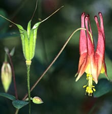 The long-spurred red flowers of columbine are attractive to hummingbirds, which return in spring at the same time that the columbine flowers appear.