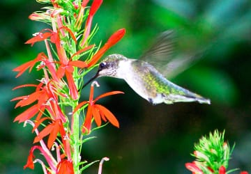 A female ruby-throated hummingbird takes nectar from the flowers of Cardinal flower (Lobelia cardinalis) in late summer.