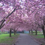 Cherry Trees BBG
