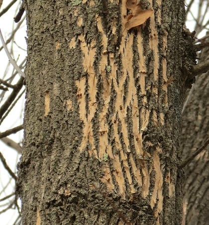 """Blonding"" of an ash tree caused by woodpeckers seeking Emerald Ash Borer larvae."
