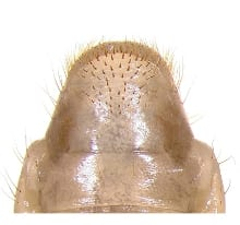 Masked chafer raster pattern. Photo courtesy OSU Extension.
