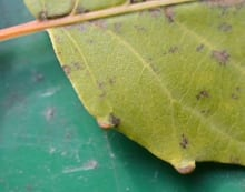 Close-up view of leaf glands.