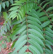 Tree Of Heaven An Exotic Invasive Plant Fact Sheet Ecological