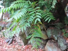 Tree-of-heaven takes advantage of stone walls and broken pavement.