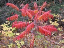 Sometimes confused with Rhus glabra (smooth sumac), shown here with red autumn foliage, tree-of-heaven turns yellow in the fall.