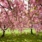 BBG Cherry Trees