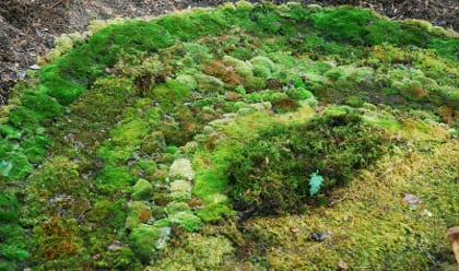 Rainbow of sun-tolerant moss species -- Ceratodon, Leucobryum, Atrichum, and Entodon. Photo by Annie Martin, www.mountainmoss.com