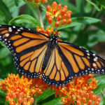 Provide habitat for threatened Monarch butterflies by planting milkweed.