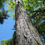 Native Pignut Hickory SM