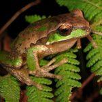 new_england_tree_frog