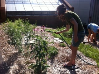Student intern waters Echinacea in the culinary and medicinal beds.
