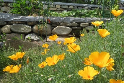 Eschscholzia californica California Poppy  Parts used: flowers, leaves, and roots  Tea made from all parts of the plant is used to relieve anxiety and stress as well as to relieve pain