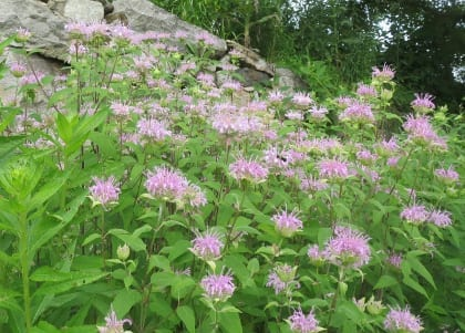 Monarda didyma Bee Balm, Oswego Tea  Parts used: flowers and leaves  Tea of flowers and leaves helps treat winter illnesses, respiratory conditions, and digestion complaints