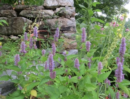 Agastache foeniculum Anise Hyssop  Parts used – leaves, stems, flowers  Tea of fresh or dried leaves, stems, and flowers aids digestion, helps lower fevers, and is great as iced tea in the summer
