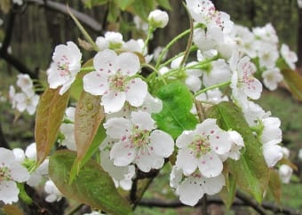 Chinese pear  can be reliably grow to USDA zone 5.