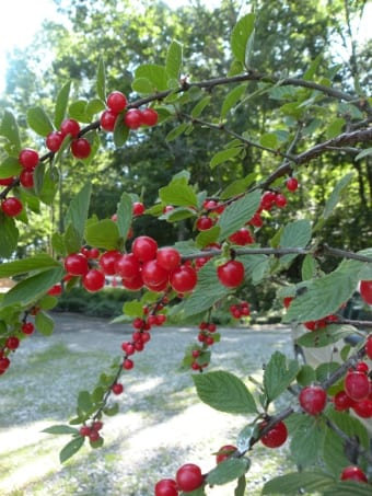 The sweet, slightly tart cherries of the Nanking ripen late June to early July.