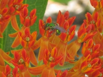 Female green sweat bee (Agapostemon sp.) collecting nectar from butterfly weed (Asclepias tuberosa). Photo: Cayte McDonough