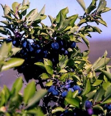 Use beach plums to make a tart jelly. Photo: Russ Cohen