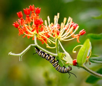 A monarch caterpillar enjoys Asclepias tuberosa. Photo: Betty Hall.