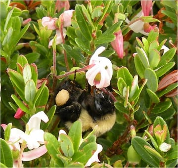 A pollen-loaded bumble bee forages on cranberry flowers. Cranberry is more efficiently pollinated when the flowers are 'buzz pollinated.' Bumble bees commonly do this by moving their flight muscles rapidly and vibrating the flower, which releases pollen.  Photo: A. Averill