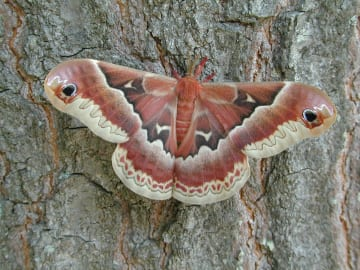 Female promethea moth (Callosamia promethea). Photo: Cayte McDonough
